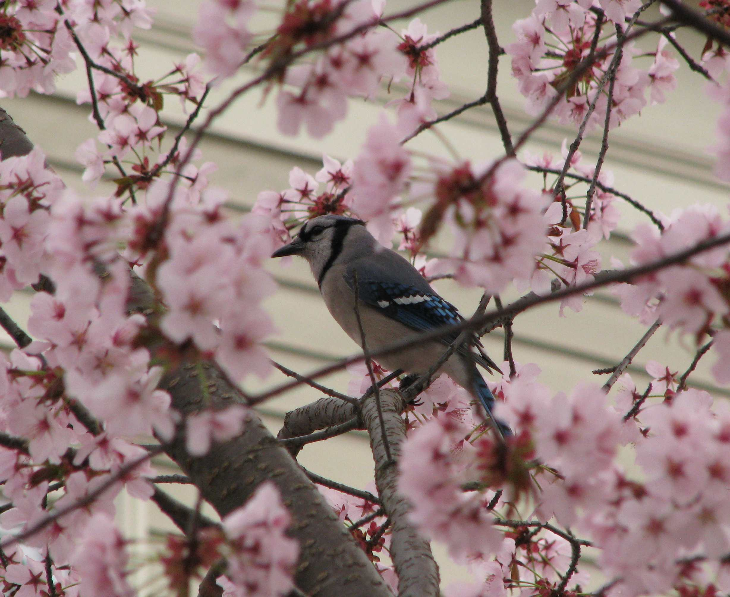 Bluejay  and cherry blossoms