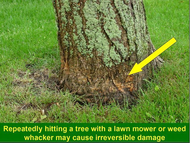 weed  whacker damage to a tree